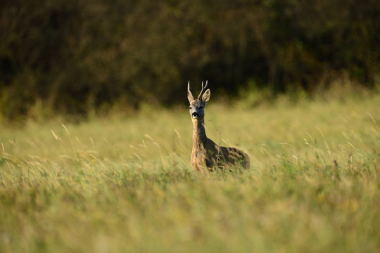 Roe deer walking on the meadow with green grass