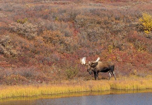 Alaska Yukon Bull Moose in Denali National Park in Autumn