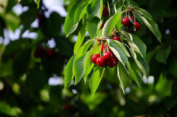 Cherry tree in the sunshine - sick cherry tree - moldy fruits on the tree