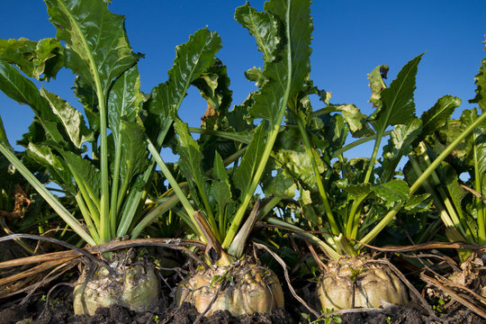 Close-up of Sugar beet, growing on a field under a blue sky
