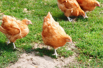 Domestic Chickens Eating grains and green grass