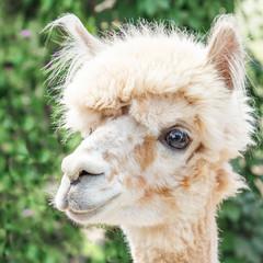 Poster Lama Portrait of an Alpaca lama smiling in park