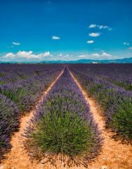 Wall Murals Lavender Champ de lavande sur le plateau de Velensole, France