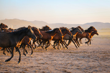 Yilki horses running in field at sunset, Kayseri, Turkey