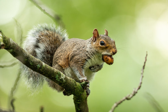 Grey squirrel in the natural environment, close up, detail, wildlife, Sciurus carolinensis