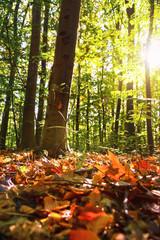 Wall Mural - Sonne scheint durch die Blätter im Wald