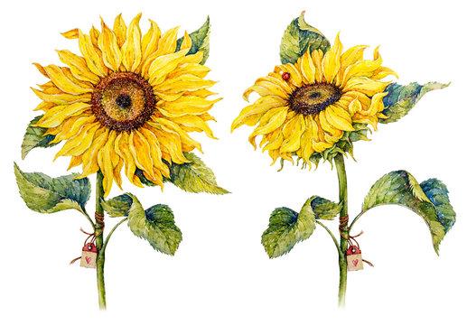 Botanical sunflowers. Watercolor illustration.
