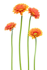Door stickers Gerbera Vertical orange gerbera flowers with long stem isolated over white background. Spring bouquet. .