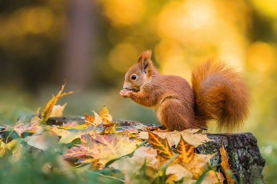 Cute red squirrel with fluffy tail sitting on a tree stump covered with colorful leaves feeding on seeds. Sunny autumn day in a deep forest. Blurry yellow and brown background.
