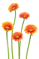 Poster Gerbera Vertical orange gerbera flowers with long stem isolated on white background. Spring bouquet.