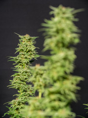 Cannabis Plant Flower HDR