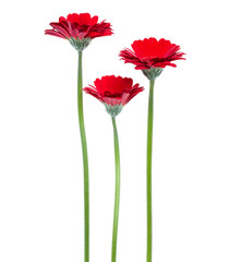 Canvas Prints Gerbera three Vertical red gerbera flowers with long stem isolated on white background
