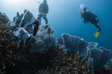 Wall Mural - Divers spotted and watch the frogfish hidden among the corals in the tropical sea in Philippines