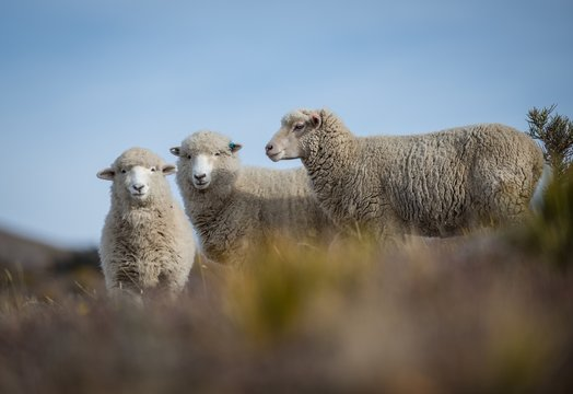 Low angle closeup shot of three beautiful Merino Sheep on a blurred background