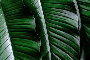 Wall Murals New Zealand tropical leaf, large foliage, abstract green texture, nature background