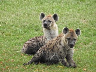 Fotobehang Hyena Double Hyena