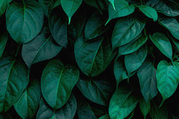 Acrylic Prints Plant tropical leaves texture, abstract green leaves and dark tone process, nature pattern background