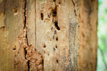 closeup of ants walking up and down on a red tree log ant worker on a branch close-up, insect macro photo Termite on Wooden handrails in the way to the top of Khao Luang mountain in Ramkhamhaeng Natio