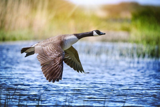 Canada goose big bird in flight close beautiful water lake.