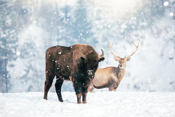 Tuinposter Buffel Beautiful Bison in heavy snow