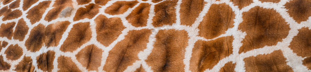 Real giraffe skin or background texture fur. Animal pattern detail wide banner.