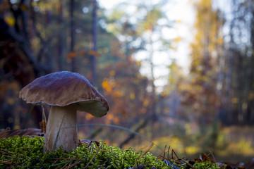 Obraz large porcini mushroom grows in wood - fototapety do salonu