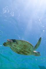 透明な海を泳ぐウミガメ