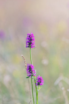Betony flowers  (Stachys officinalis or  Betonica officinalis), is commonly known as common hedgenettle, betony, purple betony, wood betony, bishopwort. Flowering meadow. Place for text.