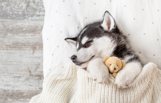 Sleeping Siberian Husky puppy embracing toy bear on pillow under blanket. Top view. Empty space for text