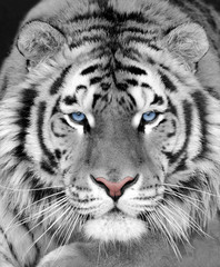 Poster de jardin Tigre The face of a white beautiful tiger close-up