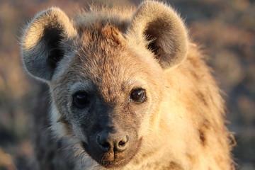 Fotobehang Hyena Young spotted hyena (crocuta crocuta) face closeup.