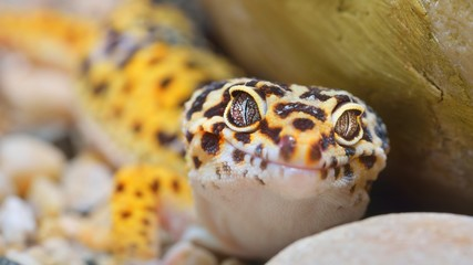 Leopard gecko Eublepharis macularius in the Zoo