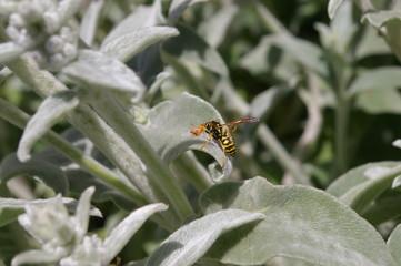 Lamb's Ears Wasp