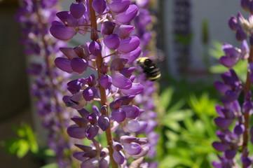 Bumblebee Lupin