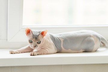 Sphynx cat laying on window Fototapete
