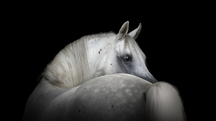 Portrait of a beautiful white Arabian horse looks back on black background
