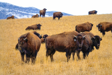 Foto auf Leinwand Bison A herd of domesticated bison is scattered around the scenic Montana prairie.