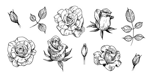 Sketch of rose. Hand drawn outline converted to vector. Isolated on white background