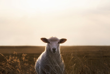 Deurstickers Schapen White sheep portrait in high grass on Sylt island at sunrise