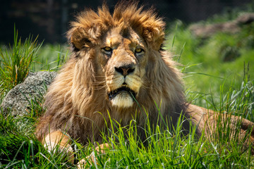 A large male lion with a shaggy main sits in the grass waiting.