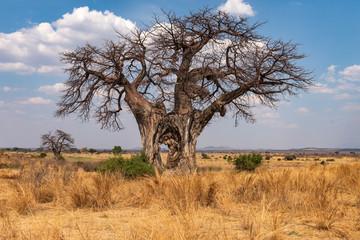 Large Baobab tree with hole through trunk - Tanzania