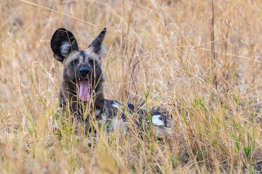 Painted dog sitting in tall grass Zimbabwe
