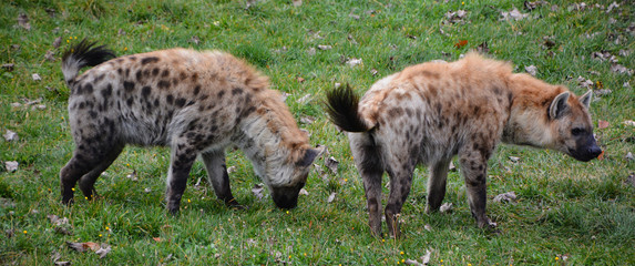 Fotobehang Hyena Spotted hyena (Crocuta crocuta), also known as the laughing hyena, is a species of hyena, currently classed as the sole member of the genus Crocuta, native to Sub-Saharan Africa.