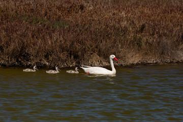 Coscoroba Swan (Coscoroba) Latin Name: Coscoroba Coscoroba. Tongoy Chile