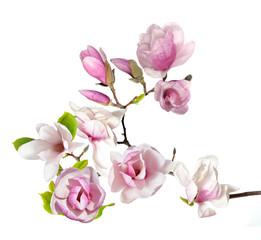 Deurstickers Magnolia magnolia