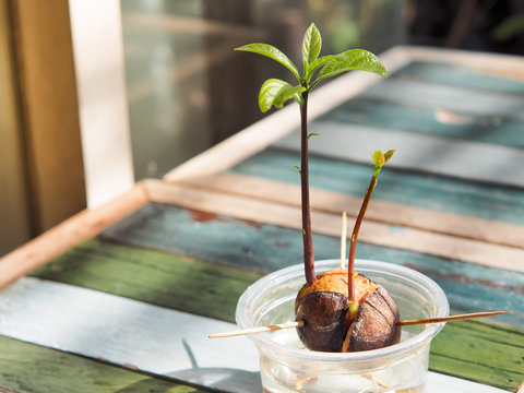 Avocado plant seed sprouting and growing in plastic cup with water. Planted with avocados.
