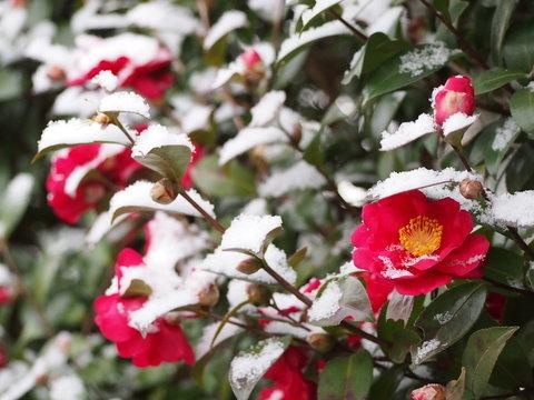 雪と山茶花