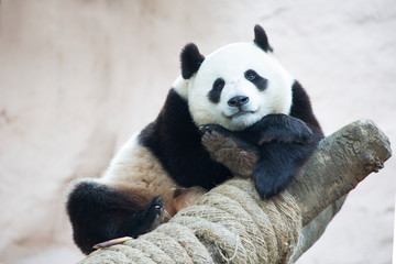 Giant Panda. It is a mammal of the bear family with a peculiar black-and-white coat color. Giant Panda is found only in the mountain forests of several Western provinces of China.