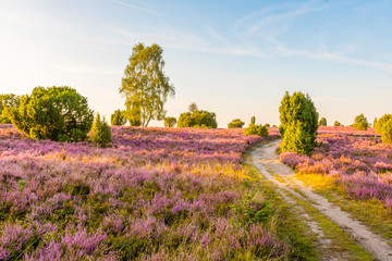 The Lüneburg Heath to the Heath Bloom - radiant violet flowers, trees and hiking trails