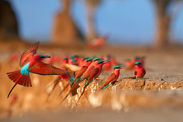 Red birds. Colorful Southern Carmine bee-eater, Merops nubicoides, colony of red and blue winged african birds on the bank of Zambezi river. Bird photography in ManaPools, Zimbabwe.
